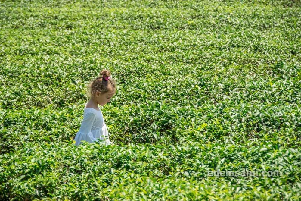 Чайная плантация Choui Fong