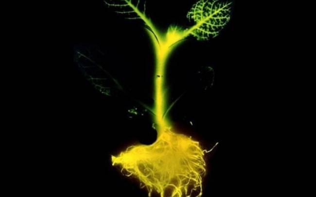 В США получены светящиеся растения, которые можно использовать вместо электрического освещения. Свет