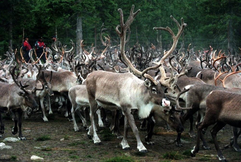 В Норвегии грузовые поезда сбили 106 северных оленей