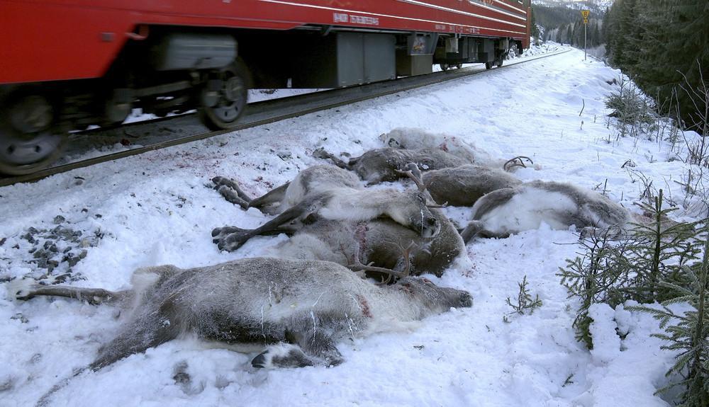В Норвегии грузовые поезда сбили 106 северных оленей (8 фото)