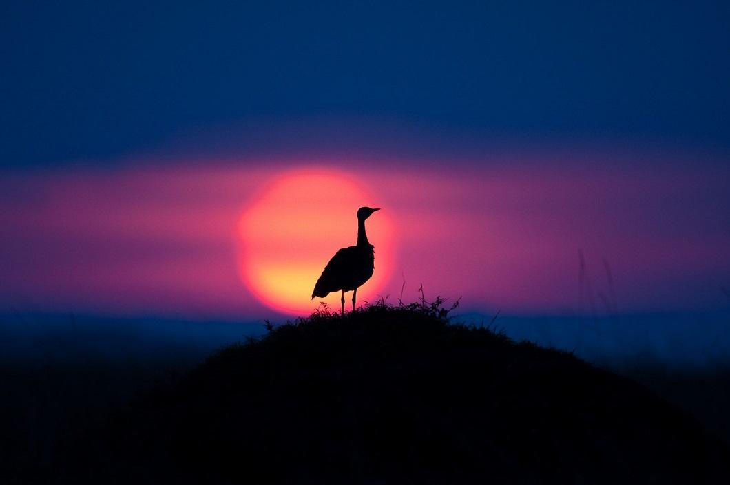 9. Дрофа на закате. (Фото: Пол Гольдштейн / Rex)