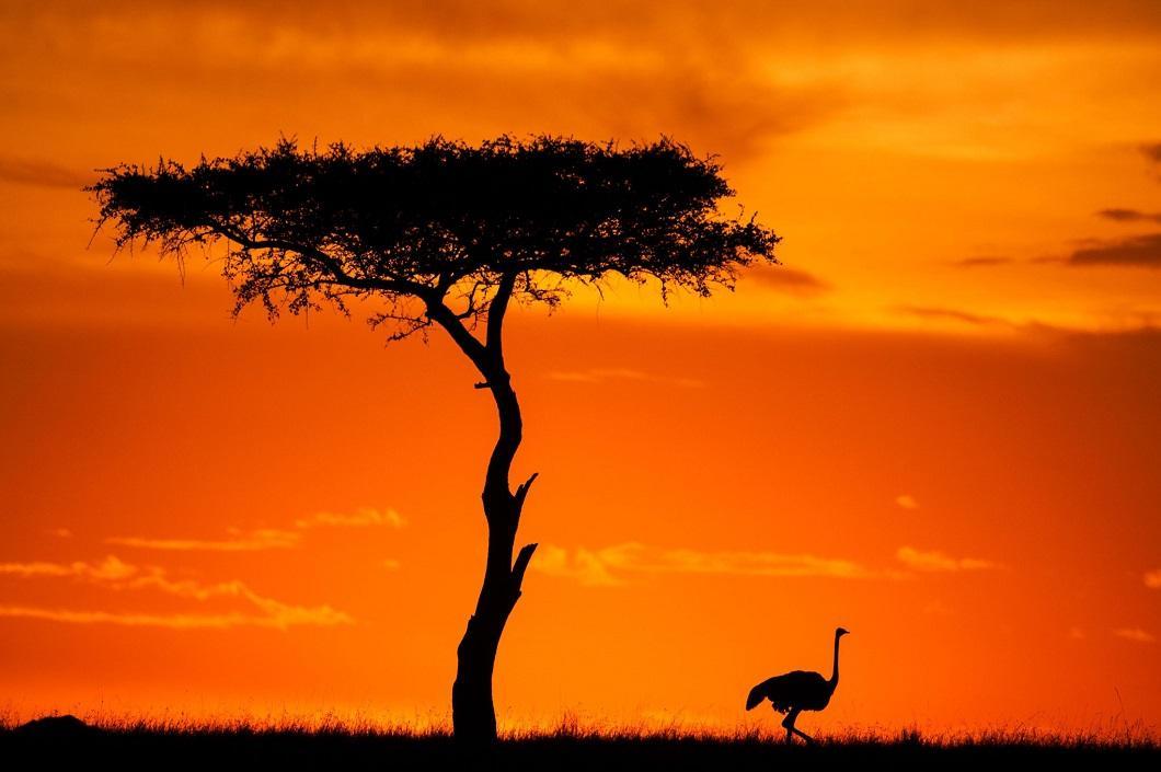 12. Страус на закате. (Фото: Пол Гольдштейн / Rex)