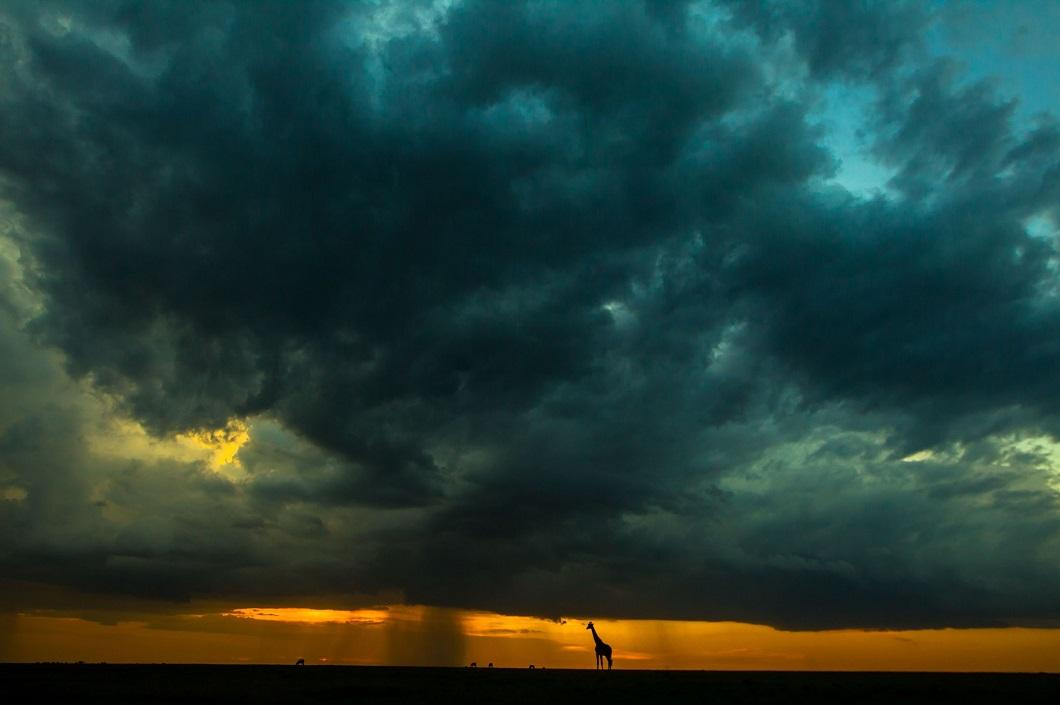 13. Жираф на закате. (Фото: Пол Гольдштейн / Rex)