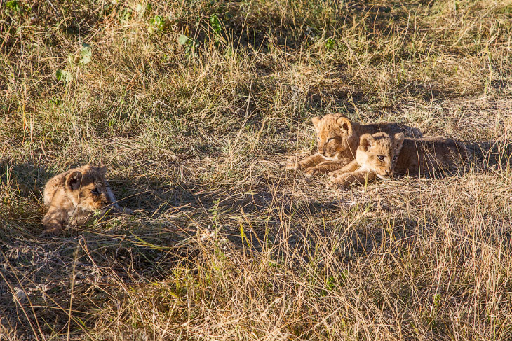 2. Мамин хвост — это любимая игрушка львят. Наблюдая за этими малышами мы ещё раз в этом убедились.