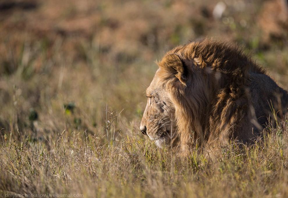 10. Вообще, нам сильно повезло с этими львятами. Обычно практически невозможно увидеть в дикой приро