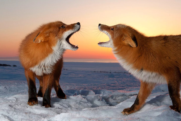 Фотографии Сергея Горшкова   1. Лиса не пережевывает пищу, а только разрывает мясо на маленькие