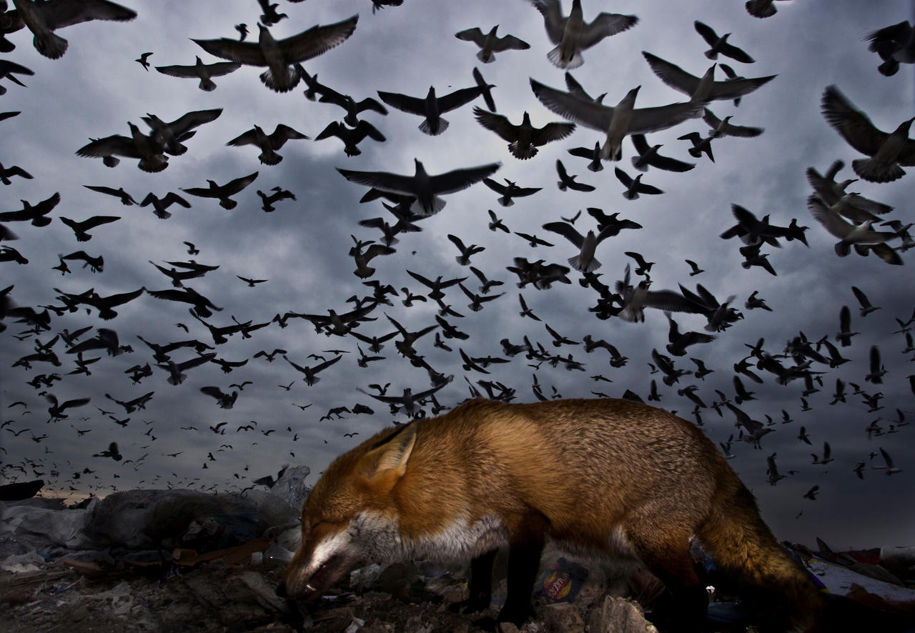 Birds in Flight, Honorable Mention. Seagulls and fox by Gabor Kapus.
