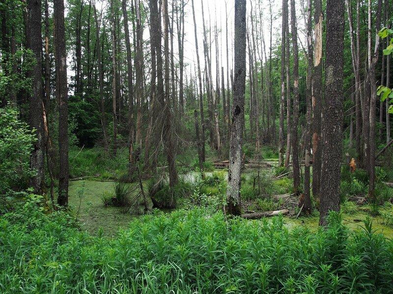 Сразу за деревней потянулся болотистый лес.