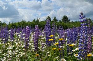 Царство полевых цветов