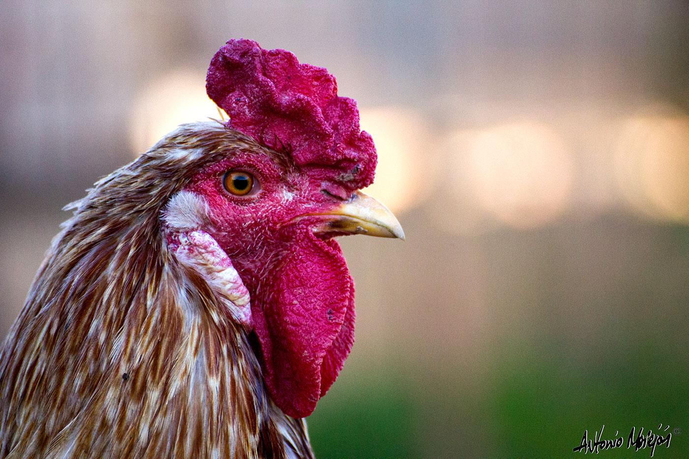 Цыплята / фото Antonio Morejón
