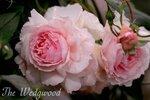 The Wedgwood Rose2.JPEG