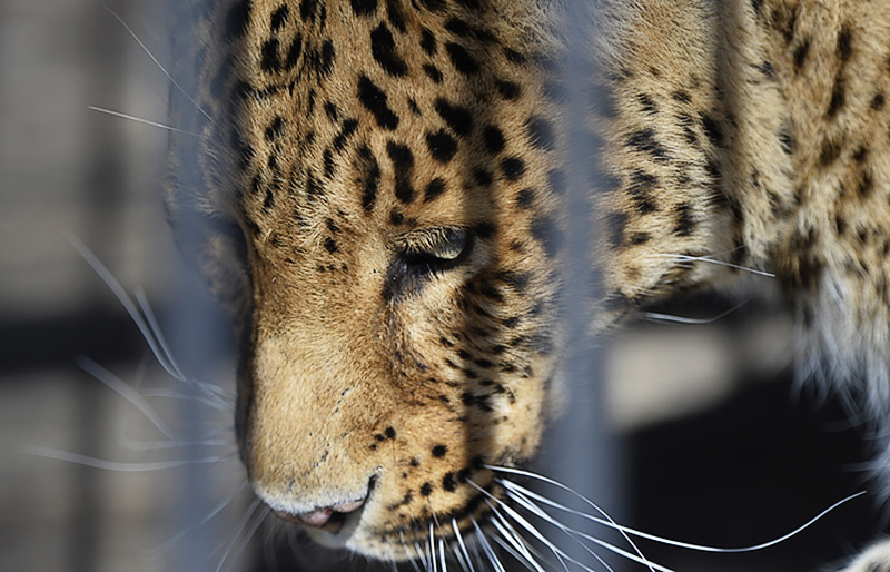 Леопард по какой-то причине не напал на курицу. Вероятно, хищник, попав в ловушку, от стресса совсем