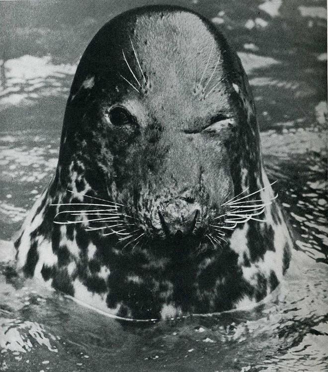 11. Подмигивающий тюлень в зоопарке Копенгагена.