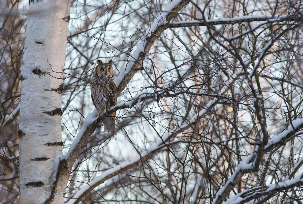 8. В этом году очень много рябины и семян ясеня, для птиц раздолье. Снегири, свиристели, щуры