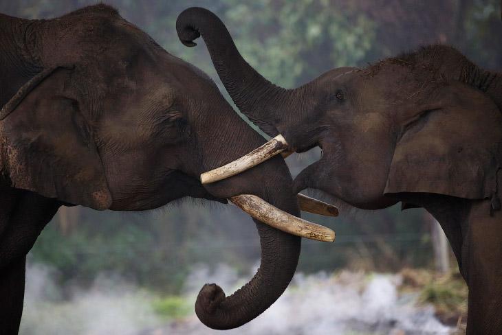 2. Погонщик готовит своего слона к фестивалю, 26 декабря 2014. (Фото Navesh Chitrakar):