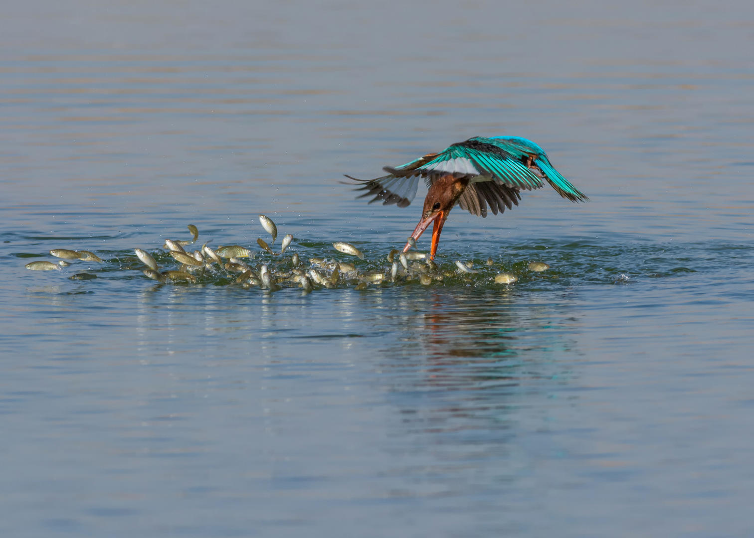 Bird Behaviour, Silver. Diving Kingfisher by Malek Alhazzaa.