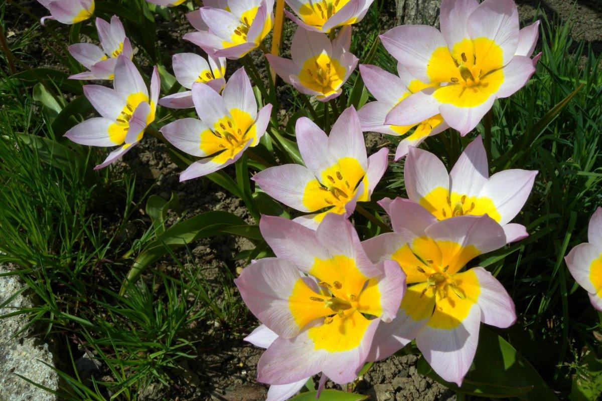 Букет тюльпанов к 8 Марта