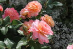 IMG_5376.JPG  роза чайно-гибридная Августа Луиза (Augusta Luise) Tantau 1999