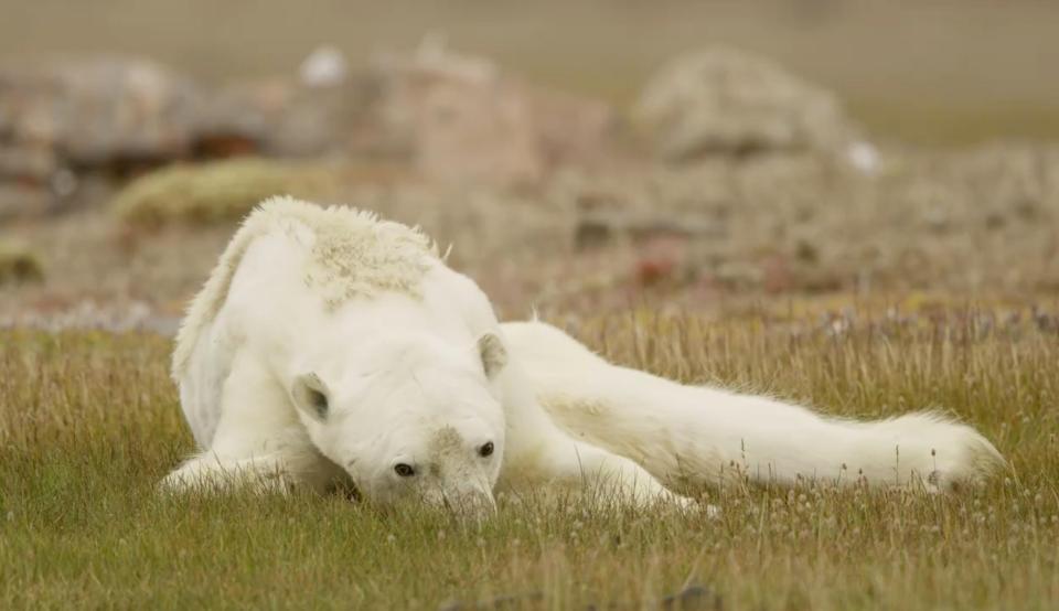 Душераздирающее видео: белый медведь  умирает от голода