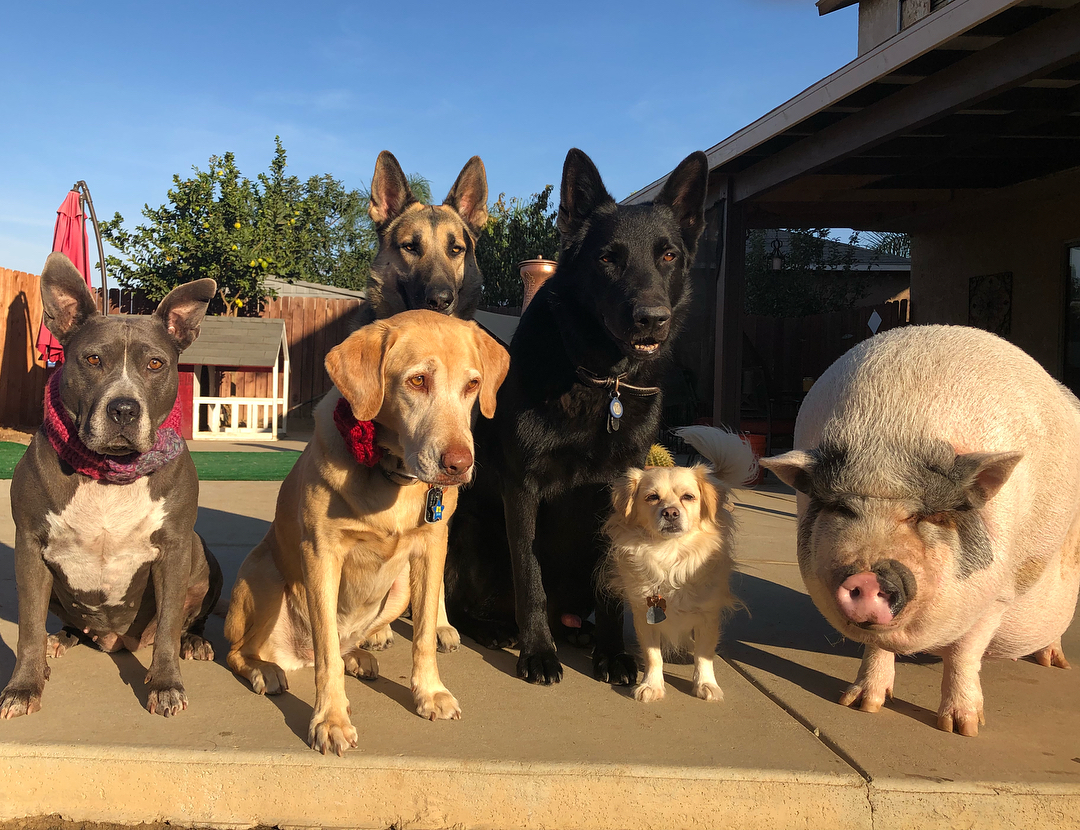 Пять собак и свинья живут в доме американки