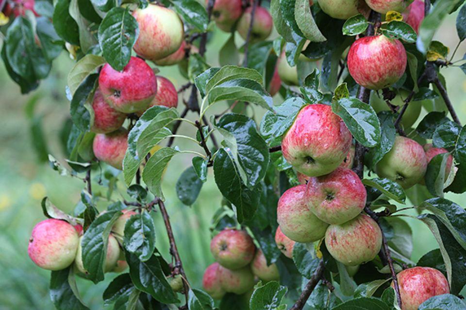 ВКалининградской области запустят производство фруктовой пастилы