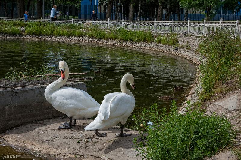 Два белых лебедя .