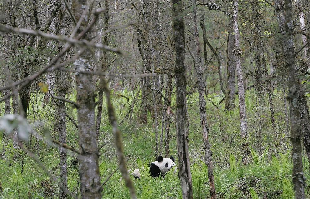 11. Тут и малые панды есть. Хищник, размером немного крупнее кошки. (Фото Paula Bronstein):