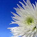 Сад хризантем. Послесловие. Часть 2