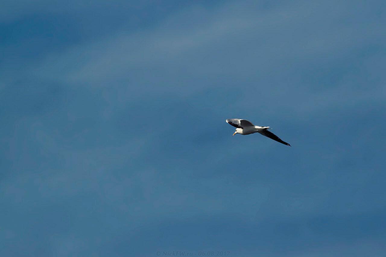 Чайка в небе [© NickFW - 06.08.2017]