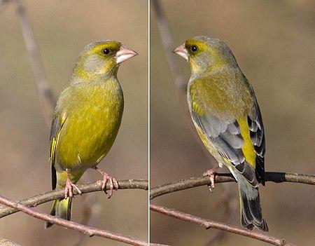 gruenfink.jpg