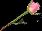 Beautiful Roses #7 (17).png