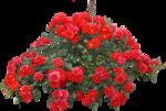 Beautiful Roses #7 (26).png
