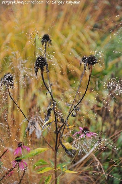Echinacea Sporobolus heterolepis.JPG