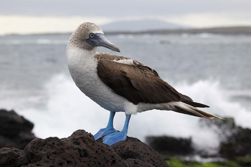 Из 40 000 пар примерно половина живёт на Галапагосских островах, где голубоногие олуши охраняются за