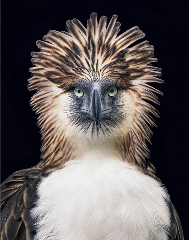 © timflach     Эта вид птиц обитает только влесах наФилиппинах. Онсчитается самым круп