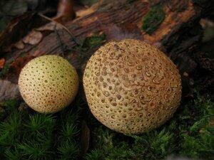 Ложнодождевик обыкновенный (Scleroderma citrinum)