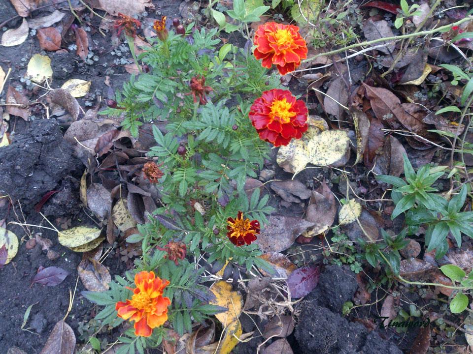 цветы-осени-26.jpg