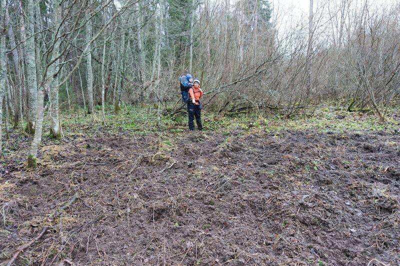 кабаны рыли землю на берегу Оредеж рядом с Вырица