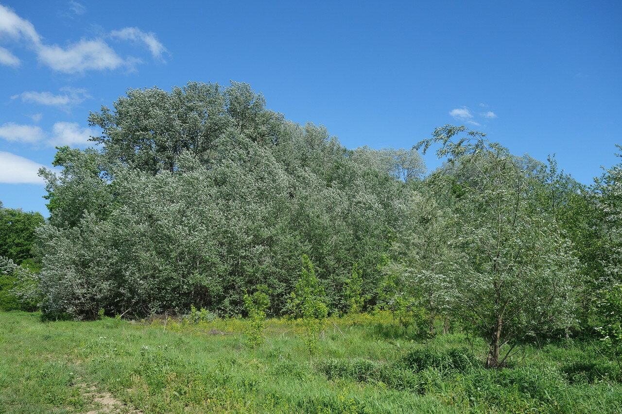 осины-ивы