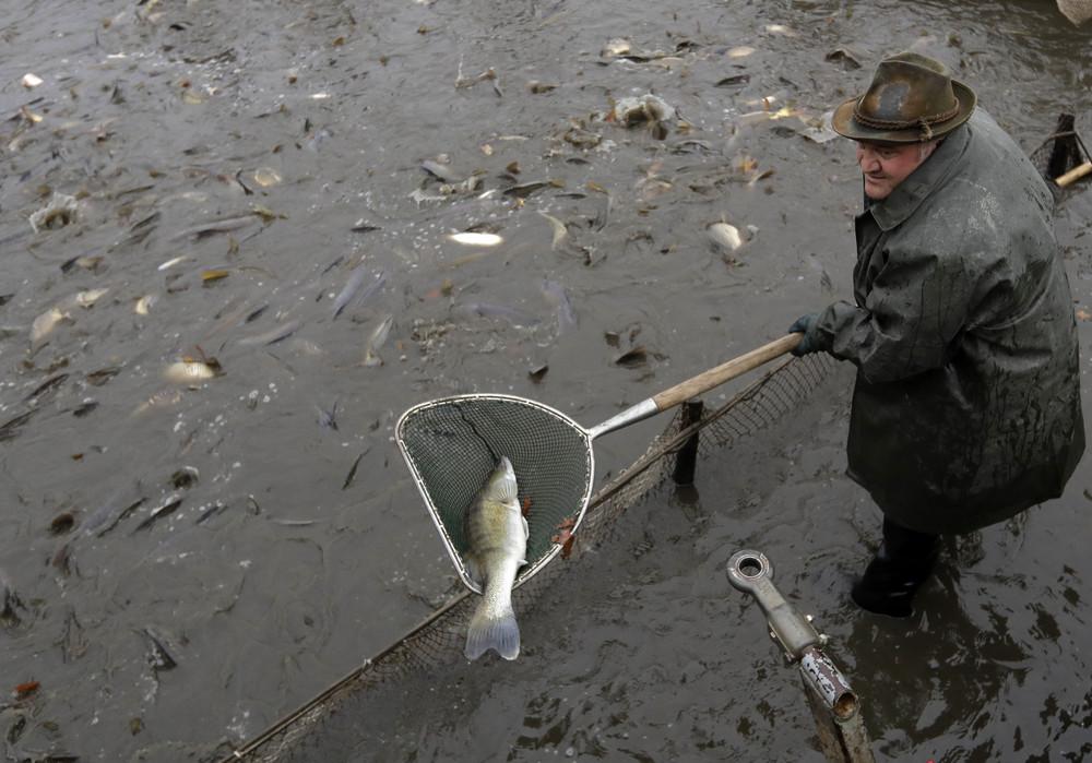 Ежегодная традиционная ловля карпа в Чехии