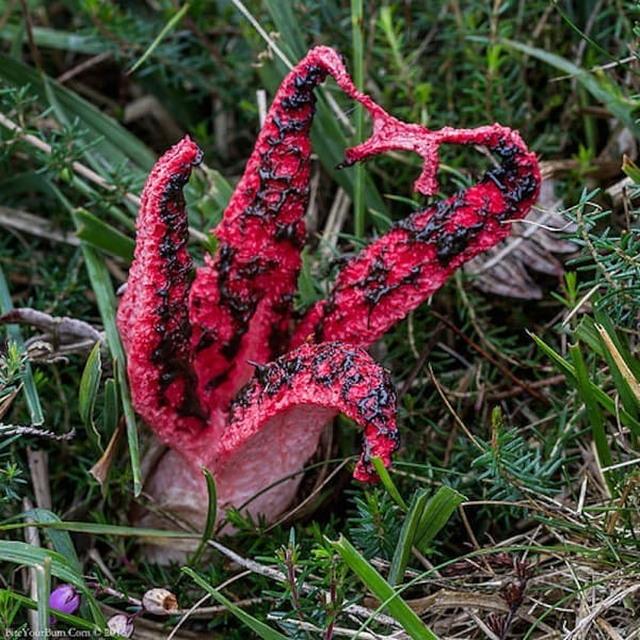 Самый жуткий гриб в мире «Пальцы дьявола»