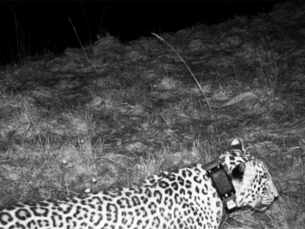 Радиоошейники, которые надели на леопардов перед выпуском, должны были автоматически отстегнуться че