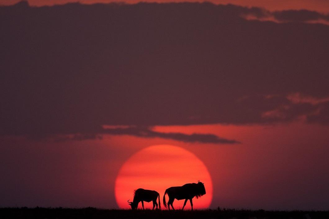 6. Гну на закате. (Фото: Пол Гольдштейн / Rex)