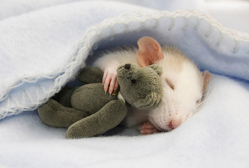 Очаровательные крыски с плюшевыми мишками (21 фото)