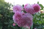 IMG_5761.JPG  штамб роза мускусный гибрид Lavender Lassie, Kordes 1960