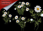 daisies vector from Roula 33.jpg