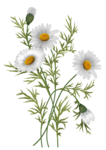 daisies vector-2.png