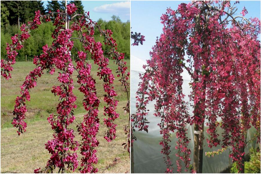 Райская яблоня, особенности ухода и посадки - яблоня Crimson Cascade и яблоня Royal Beauty
