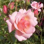 Park-кустовая роза.JPG
