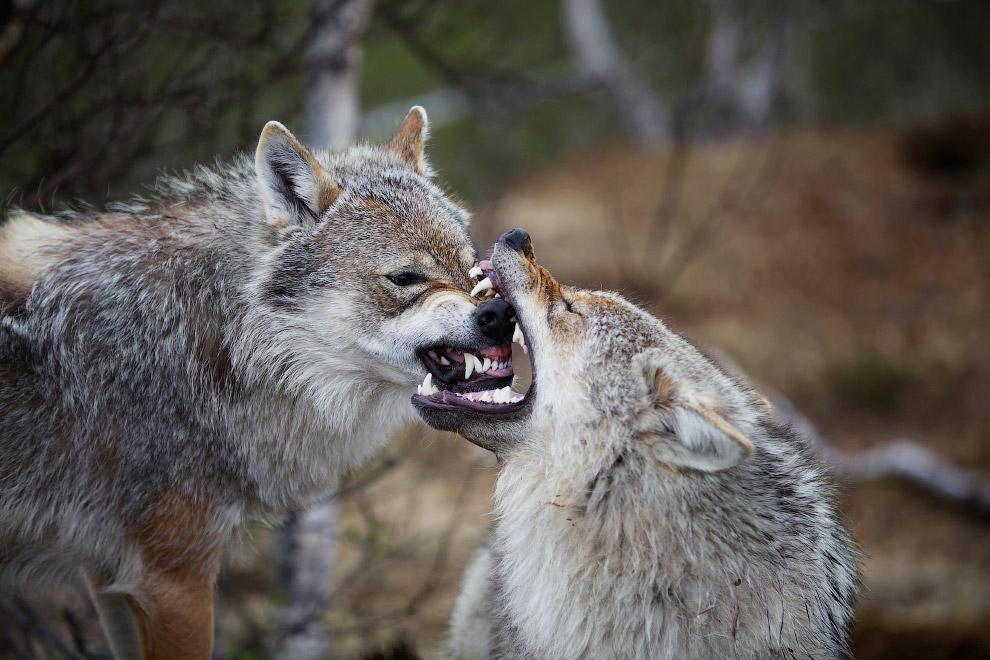 Челюсти волка настолько мощные, что он может разломить бедро лося за 6-8 укусов.